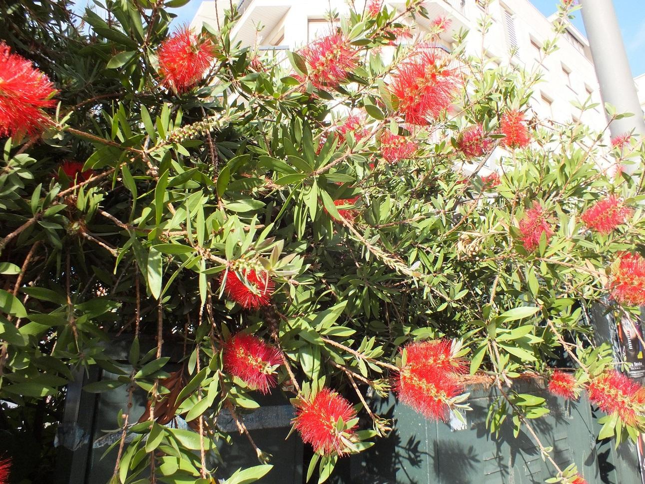 Cambrils fuzzy flowers