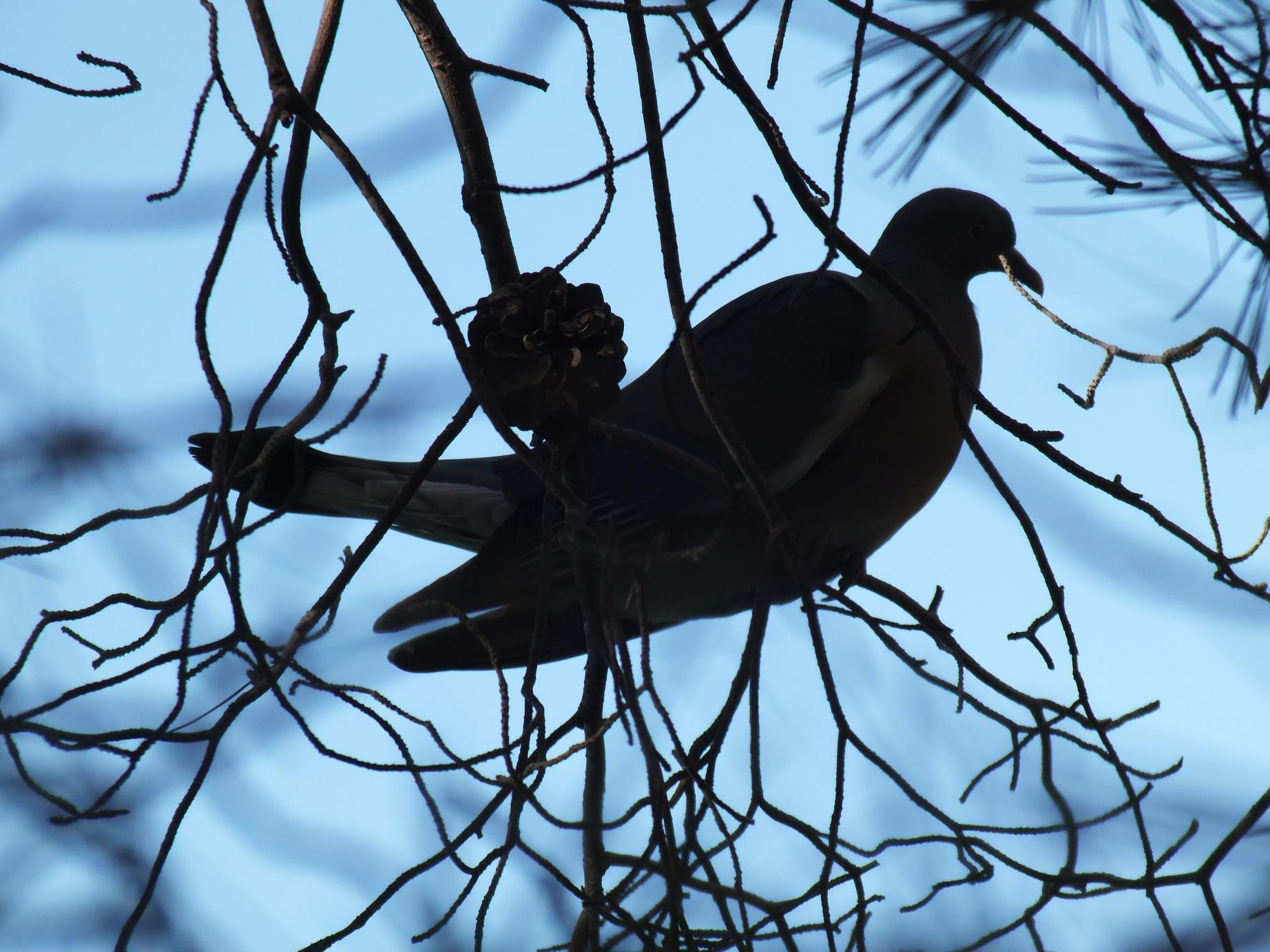 Salou_Cami de Ronda_pigeon2