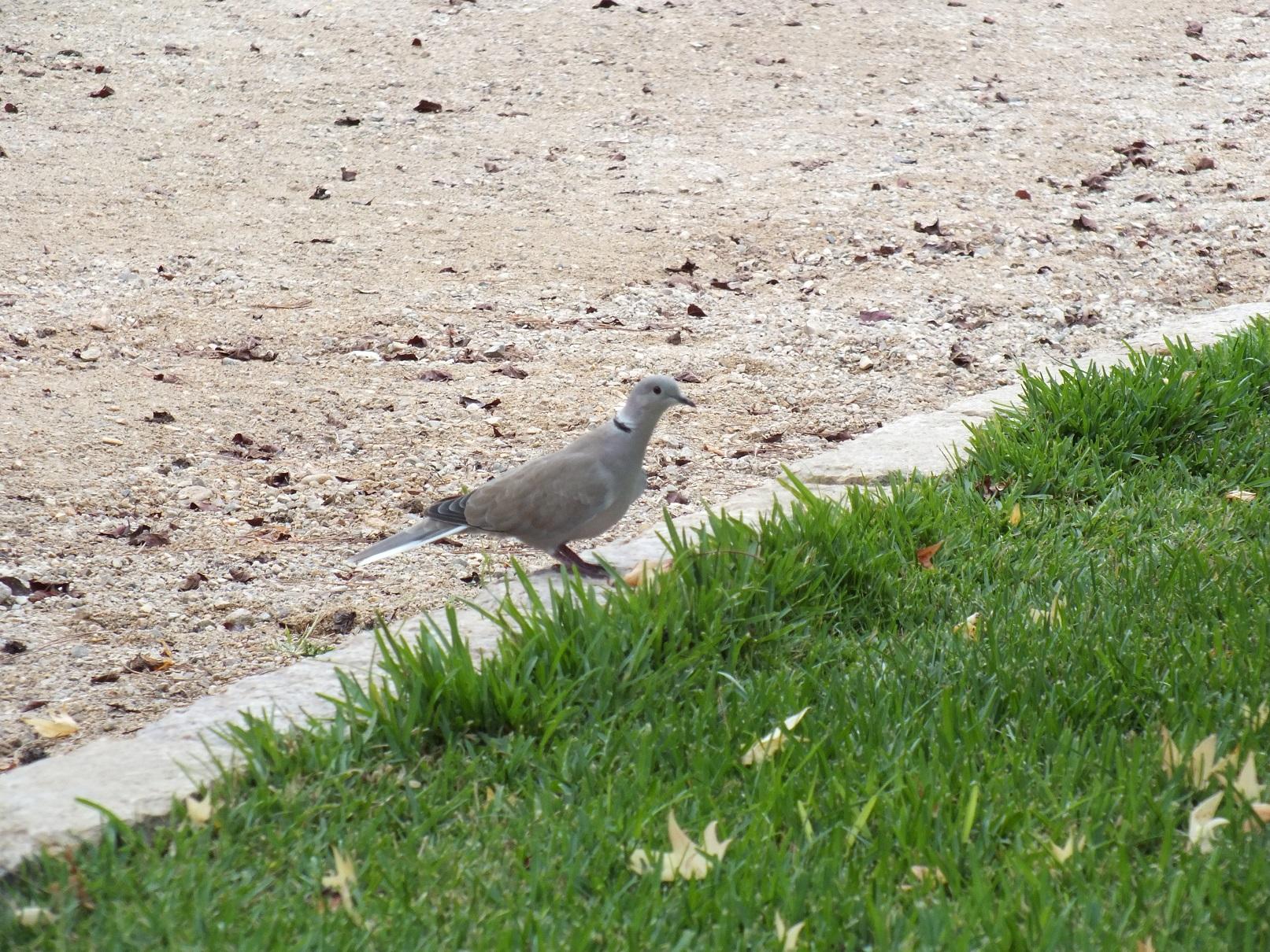 Tarragona pigeon