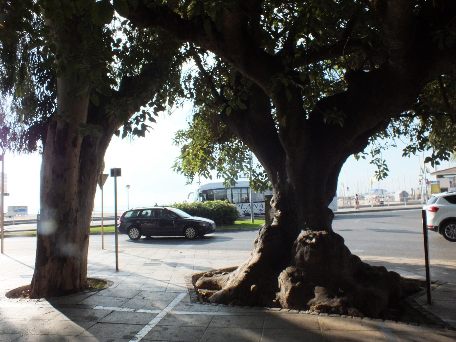 Cambrils big argentinian tree