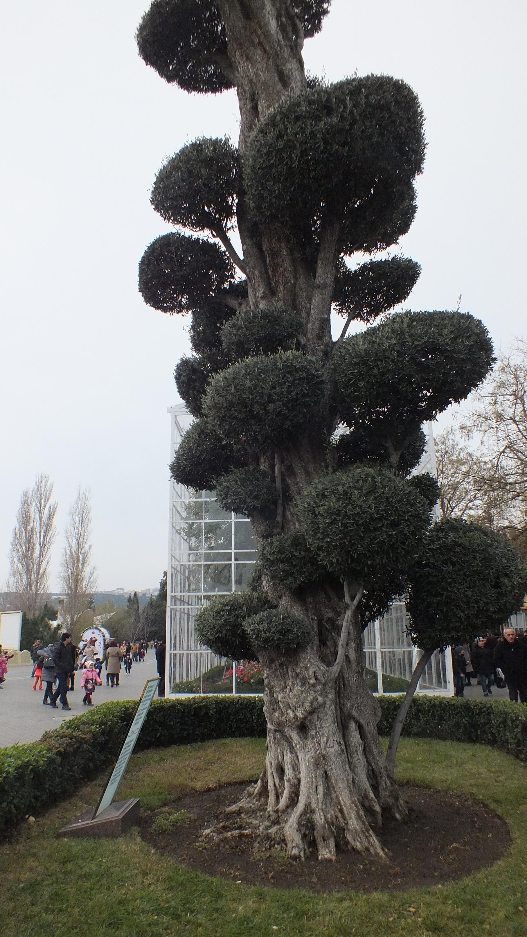 Оливковое дерево на Приморском бульваре Баку
