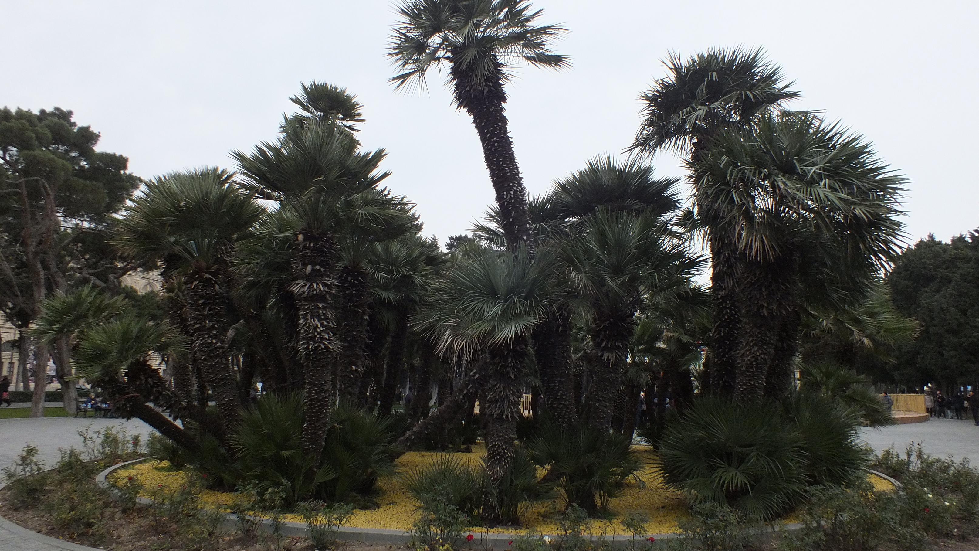 Пальмы на приморском бульваре Баку
